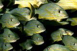 Neertjes fish