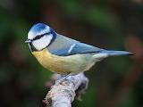 Eurasian blue ti, Lancashire