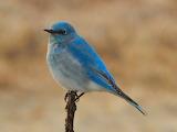 ^ Mountain blue bird