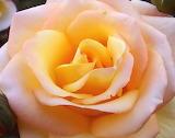 ^ Yellow rose