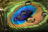 MacroDuel DustinOlsen PeacockFeather ImprovePhotography