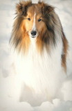 Beautiful Collie