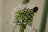 Cardère et abeille