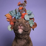 #Pit Bull Flower Power