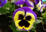 Bratki-wiosenne kwiatki:).
