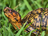 Colorful Eastern box turtle from Microsoft Jigsaw by auricle99;