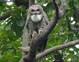 Mottled wood owl - Sitamata wildlife sanctuary🦉