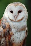Birds - Barn Owl