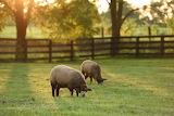 Sunset Lambs