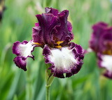 Bearded iris 'Innocent Star'