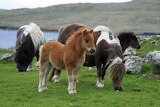 Shetland Ponies in Scotland