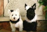 Terrier Bride and Groom...lol