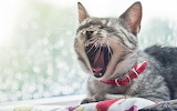 Gray-cat-red-collar-mouth-open