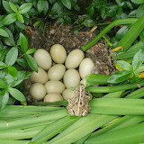 Duck Eggs & Toad, by Amy