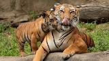 Tiger-mom-cub