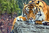 Tiger-wildlife-cliff