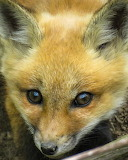 Dogs - Red Fox kit