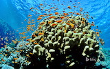 Scalefin anthias in the Red Sea at Ras Mohammed National Park in