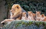 Leones en familia