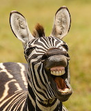 Comedy-Wildlife-Zebra