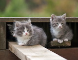 Sweet grey kittens