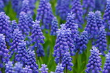 Muscari, flowers, purple, color