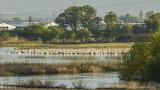 Group of pelicaans