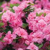 ^ Pink Azalea