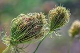 Daucus Carota, Wild Carrot Seeds