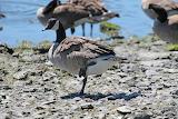 Canada Goose, posing