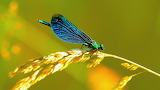 Blue-Green Dragonfly on Branch