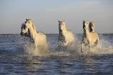 herd-horses