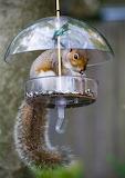 Squirrel-in-bird-feeder