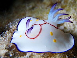 multi-colored nudibranch