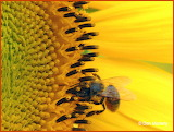 Honeybee CLOSE UP on a sunflower
