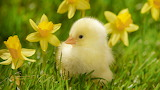 Beautiful-chick-in-grass
