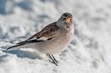 Alpine Sparrow