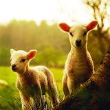 *Little Lambs...