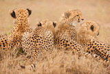 CheetahBackside
