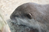 Loutre naine / Small Otter