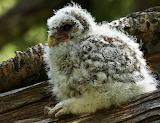 Barred Owl Chick © 2013 Anne K. Elliott