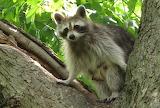 Look Up!  A Raccoon