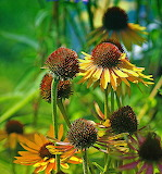 Late Summer Rudbeckia
