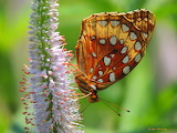 American Fritillary Butterfly up close