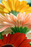 ^ Gerbera Daisies close up