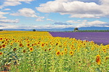 Valensole-plateau-fields-of-sunflowers-and-lavender