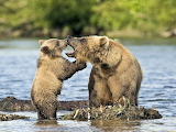 family bear,Kurilsk Lake,Kamchatka,Russia