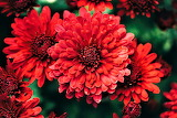#Beautiful Chrysanthemums