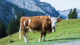 Cow-mountain@doll28