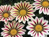Flowers gazania